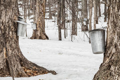 Floresta de cubetas da seiva do bordo em árvores Fotografia de Stock Royalty Free