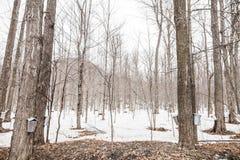 Floresta de cubetas da seiva do bordo em árvores Imagens de Stock
