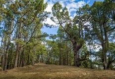 Floresta de Esperanza do La, caminhando o trajeto, Tenerife fotos de stock royalty free