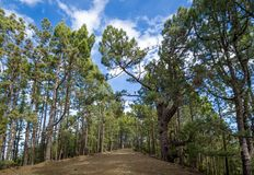 Floresta de Esperanza do La, ilha de Tenerife fotografia de stock