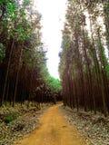 Floresta de eucalipto cortada por Por estrada de terra Stock Images