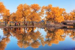 Floresta de Euphratica do Populus imagens de stock