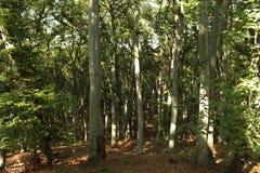 Floresta de folhosa Imagens de Stock