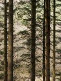 Floresta de Hafren, Llanidloes Fotos de Stock Royalty Free