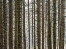 Floresta de Hafren, Llanidloes Imagens de Stock Royalty Free
