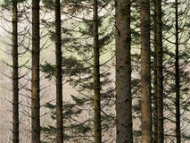 Floresta de Hafren, Llanidloes Fotografia de Stock