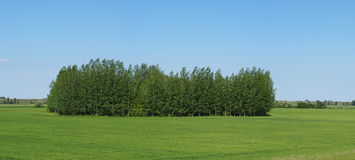 Floresta de Littte em um campo do trigo verde Fotografia de Stock Royalty Free