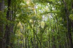 Floresta de mogno, Meliaceae Fotos de Stock Royalty Free