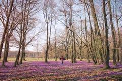 A floresta de passeio da mola da mulher e aprecia flores do açafrão Fotos de Stock Royalty Free