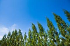Floresta de pinheiros e do céu verdes Fotos de Stock