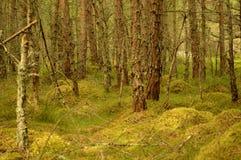 Floresta de Rothiemurchus fotos de stock