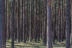 Floresta de árvores de pinho Fotos de Stock Royalty Free