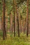 Floresta de árvores de pinho novas Imagens de Stock