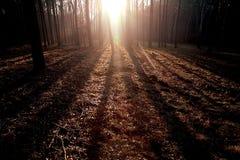 Floresta de Sunglow imagem de stock