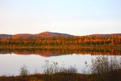 Floresta de Tamarack Imagem de Stock