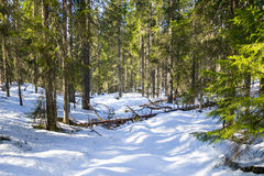 Floresta de Virgin no inverno Fotografia de Stock Royalty Free