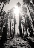 Floresta de Yosemite & o Sun Fotografia de Stock Royalty Free