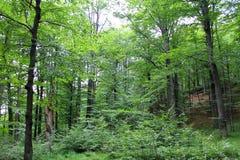 Floresta decíduo Fotografia de Stock