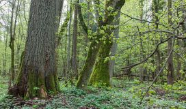 Floresta decíduo natural na primavera Fotografia de Stock Royalty Free