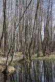 Floresta deciduous alagado da mola na mola. fotos de stock