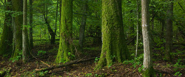 Floresta Deciduous com o musgo da árvore envolvido fotografia de stock
