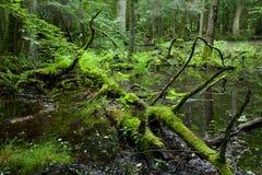 Floresta deciduous da primavera com água ereta fotos de stock