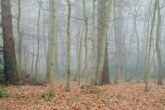 Floresta Deciduous inglesa da manhã enevoada imagens de stock royalty free