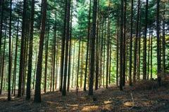 Floresta densa Imagens de Stock