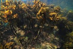 Floresta densa da alga marrom imagens de stock