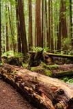 Floresta densa da sequoia vermelha com diversos grandes troncos e logs caídos de árvore Foto de Stock Royalty Free