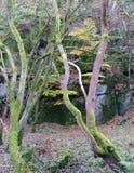 A floresta densa do outono com musgo torcido cobriu árvores Imagem de Stock Royalty Free