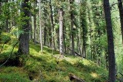 Floresta direta do cedro Imagens de Stock Royalty Free