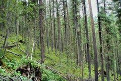 Floresta direta do cedro Imagens de Stock