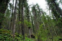 Floresta direta do cedro Fotografia de Stock