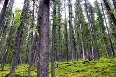 Floresta direta do cedro. Floresta nas montanhas de Sayan. Imagens de Stock