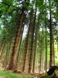 Floresta do abeto alpino Fotos de Stock Royalty Free
