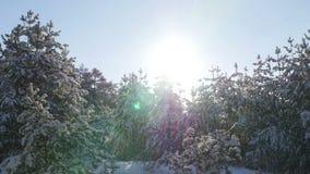 Floresta do abeto do inverno na neve no sol filme