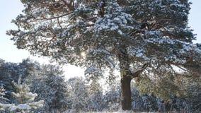 Floresta do abeto do inverno na neve no sol Foto de Stock