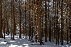 Floresta do abeto do Roan foto de stock royalty free