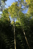 Floresta do bambu de Arishiyama Fotos de Stock Royalty Free