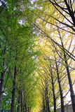 Floresta do biloba da nogueira-do-Japão Foto de Stock
