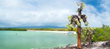 Floresta do cacto do Opuntia fotos de stock royalty free