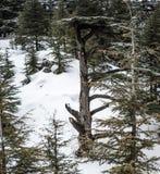 Floresta do cedro em L?bano durante o inverno imagem de stock royalty free
