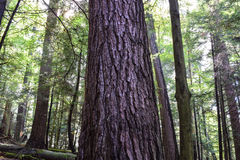 Floresta do crescimento velho Foto de Stock Royalty Free