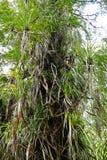 A floresta do daintree Fotografia de Stock Royalty Free