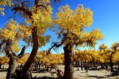 Floresta do diversifolia do Populus Imagem de Stock