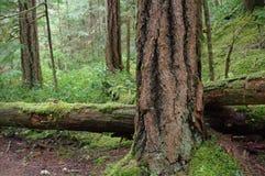 Floresta do estado de Washington Fotos de Stock