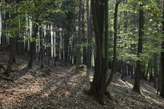 A floresta do hornbeam Fotografia de Stock
