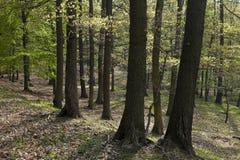 A floresta do hornbeam Fotografia de Stock Royalty Free
