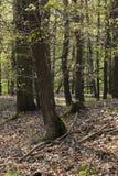A floresta do hornbeam Imagens de Stock